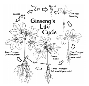 Ginseng Lice Cycle