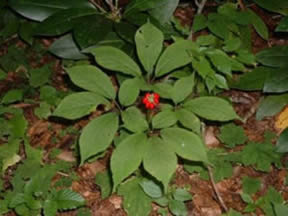 Wild ginseng with berries