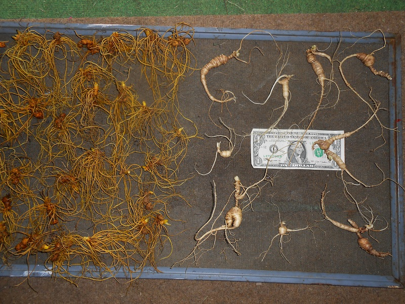 yellow root and bloodroot - Ginseng Forum