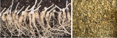 Buy Ginseng Seed & Rootlets